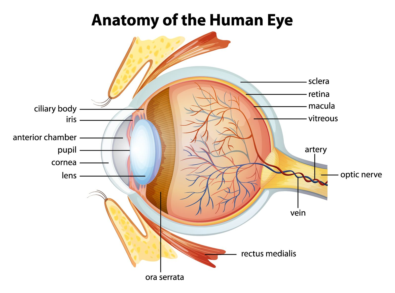 A Case Of Eyes And Posture: Osteopathic Considerations